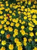 Marigold amarelo Imagem de Stock