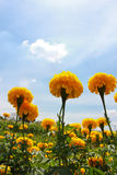 Marigold on the background of blue sky Stock Photo