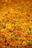 Marigold Background Stock Photos