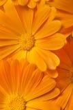 Marigold background Stock Images