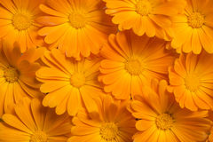Marigold background Stock Photography
