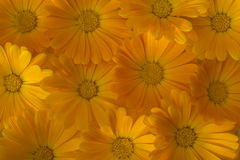 Marigold background Stock Photo