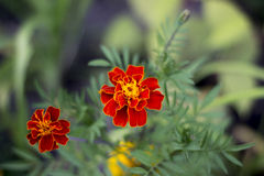 Marigold. Beautiful blossoming it is red orange barkhatets Royalty Free Stock Image