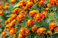 Marigold. Beautiful marigold in flowerbed that depicted in close-up stock image