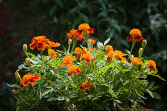 Marigold. Beautiful flowers are often used for medicinal purposes Royalty Free Stock Photo