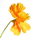 Marigold. beautiful orange flower Stock Photography