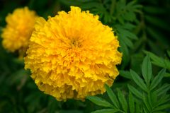 Marigold is yellow flower. Marigold is a beautiful yellow flower in nature stock images