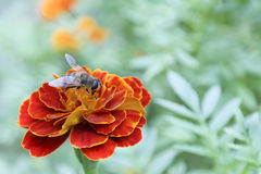 Marigold and bee. Macro red marigold and big bee with green background Stock Photos