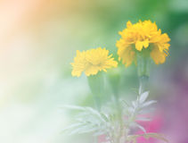 Marigold. Bloom in the garden Royalty Free Stock Photo