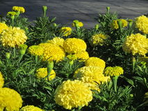 Marigold. Blooming marigolds in the flowerbeds in summer Stock Images