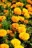 Marigold Stock Image
