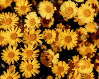 Marigold Blooms. Las Vegas, NV, USA - March 19, 2016:   Crop of blooms - Desert Marigold, Baileya Multiradiata Royalty Free Stock Photography