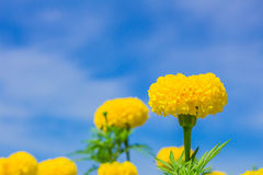 Marigold and blue sky. Royalty Free Stock Photo