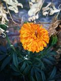 Marigold. With bluer h royalty free stock photos
