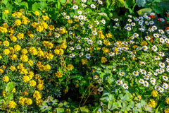 Marigold and Brachyscome. Lots of flowers in the garden Royalty Free Stock Image