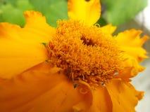 Marigold Royalty Free Stock Photography