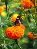 Marigold Butterfly Stock Photo