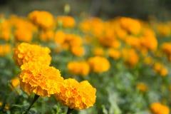 Marigold Calendula τομέας Στοκ Εικόνες