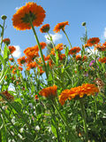 Marigold (Calendula) Stock Photo