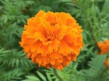 Marigold (calendula) Στοκ εικόνες με δικαίωμα ελεύθερης χρήσης