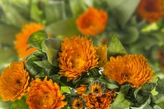 Marigold - Calendula flower. Marigold - Calendula herbal flower - close up stock photography