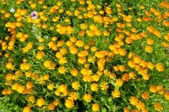 Marigold  calendula flowers in garden Stock Images