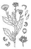 Marigold or calendula Stock Photo