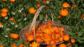 Marigold calendula medical flower herbs in wicker basket stock video footage