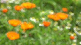 Marigold calendula medical healthy flowers in garden. Blur focus, 4K stock video