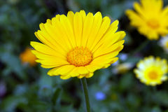 marigold Calendula Officinalis Στοκ Εικόνες