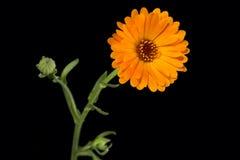 Marigold or Calendula officinalis Royalty Free Stock Image