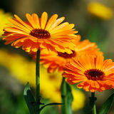 Marigold (Calendula officinalis) Royalty Free Stock Photo