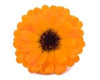 Marigold (Calendula officinalis) Royalty Free Stock Photos