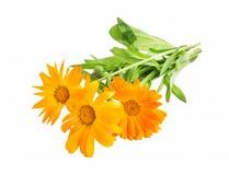 Marigold, Calendula Officinalis Medicinal Plant Isolated Royalty Free Stock Photo