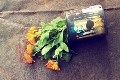 Marigold in a can Stock Images