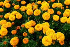 Marigold city flowers on summer , yellow beautiful flowers nice day stock photography