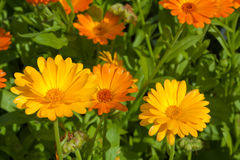 Marigold close up Stock Images