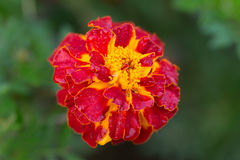 Marigold close up Royalty Free Stock Photo
