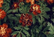 Marigold close-up outdoor garden blossom plants. Petal botanical beautiful flower stock image