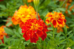 Marigold close up with water drops Royalty Free Stock Photography