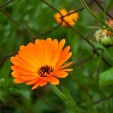 Marigold closeup Royalty Free Stock Images