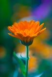 Marigold closeup Royalty Free Stock Photo