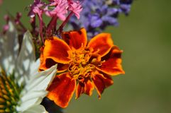 Marigold closeup with Valerian, Lavender, White Coneflower royalty free stock photo