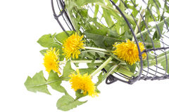 Marigold in colander for salad Royalty Free Stock Photo