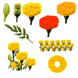 Marigold collection Royalty Free Stock Photo
