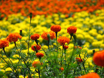 Marigold Colors Royalty Free Stock Photography