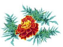 Marigold da flor Foto de Stock Royalty Free