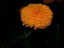 Marigold on dark background royalty free stock photo