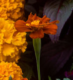 Marigold In Dark red On Yellow And Black Background Stock Photo