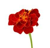Marigold de espalhamento Imagem de Stock